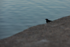Bread Begone (O.S. Fisher) Tags: black color bird water canon lost photography utah photo photograph shore 5d fowl minimalism blackbird dropped avian markiii shaunfisher canon5dmarkiii osfisher olivershaunfisher