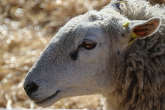 Lambing day - sheep - 2 (nican45) Tags: york slr college canon march spring sheep yorkshire farming lamb agriculture dslr tamron northyorkshire 2016 18270 askhambryan 18270mm eos70d 18270mmf3563diiivcpzd 20032016 20march2016