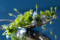 Une cuillre de printemps le matin  jeun , c'est bon pour le moral ! (marycesyl,) Tags: plante veronique printemps cuillre fleurbleue amieflickr