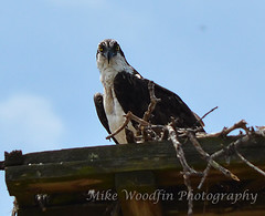 What Choo Lookin At!!! (Mike Woodfin) Tags: park bird rural photoshop photography coast photo fishing pretty fuji florida photos rustic picture seeds photograph fl fowl southbay ruskin osprey seedpod egsimmons nickerbean mikewoodfin mikewoodfinphotography
