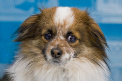 Pennington (Benny) (Pet Haven) Tags: dog pet animal benny pennington alladoption031916 penningtonbenny