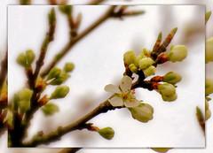 nur noch eine kurze Zeit und er wird in seiner vollen Bltenpracht zu sehen sein !!! (karin_b1966) Tags: plant tree nature garden natur blossoms pflanze buds garten baum plumtree blten knospen 2016 pflaumenbaum
