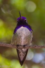 IMG_3154.jpg (ashleyrm) Tags: travel arizona birds museum sonora desert tucson hummingbirds birdwatching avian tucsonarizona hummingbirdaviary