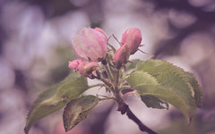 flower-2617-4 (EbE_inspiration) Tags: pink apple