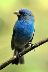 Petit oiseau bleu (Kamlon Photographie) Tags: blue bird nature mexico yucatan bleu mexique oiseau faune
