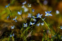Dance_of_the_Flowers_50%_DSC9561 (kcadpchair) Tags: plant mountains flower nature bokeh outdoor hiking kentucky depthoffield serene streams wildflowers appalachia creeks redrivergorge rockshapes danielboonenationalforest