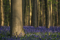 Bluebells around the tree (rvanhegelsom) Tags: wood flowers blue trees plant flower color colour tree green nature floral beautiful bluebells fairytale forest landscape photography spring woods flora colorful belgium pics colourful sequoia halle hallerbos