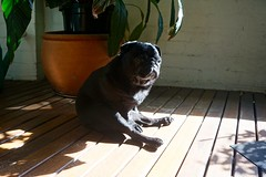 Knuckles on the balcony (dunapoo) Tags: pug