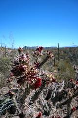 Saguaro National Park, Arizona (mattk1979) Tags: park arizona usa desert tucson unitedstatesofamerica national saguaro signalhill bajadaloopdrive