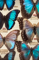 Butterfly Collection (andryn2006) Tags: england london unitedkingdom butterflies pins hornimanmuseum