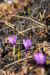 Dalla Cenere.. (Roveclimb) Tags: flowers mountains alps flower primavera nature grass season fire spring purple hiking meadow violet natura crocus burn burnt mountaineering fiori alpinismo fiore viola alpi prato montagna incendio bares alpinism montalto sorico escursionismo pascolo gravedona crochi sassocanale muncech altolario geralario montemezzo corvegia valdibares fildecorvegia fildelacorvegia