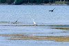 Grey Heron (_DSF6863) (Param-Roving-Photog) Tags: bird water nikon wildlife reservoir d750 crow punjab tamron wetland greyheron ramsar ropar