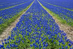 Endless (Nik Bruining - www.nikbruining.com) Tags: flowers blue plant nature field landscape gardening grape hyacinth muscari