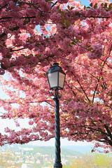 IMG_3190 (maro310) Tags: park city urban flower tree nature canon spring hungary colours outdoor budapest sightseeing lampa var budacastle termeszet wildcherry 70d blossome 365project budaivar varosnezes varosnegyed