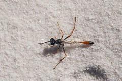 Sphecid Wasp (lacey underall) Tags: newmexico insect wasp arthropod whitesandsnationalmonument hymenoptera ammophila sphecidae oterocounty