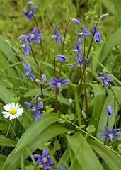 Scilla amoena (2) (pflanzenflsterer) Tags: turkey trkei blau botanicalgarden halle anatolien blaustern neophyt asparagaceae vorderasien zwiebelpflanze othocallis laubwerfend