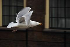 Inge Hoogendoorn (ingehoogendoorn) Tags: seagulls bird birds fly flying seagull gull gulls vogels meeuw meeuwen vogel vliegveld