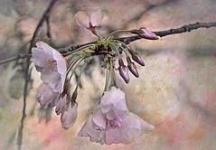 Paper Blossoms (zuni48) Tags: flowers texture washingtondc topazsoftware yoshinocherryblossoms zunikoff spring2016 topaztextureeffects cherryblossom2016 washingtondccherryblossomfestival2016