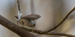Nest Building Gnatcatchers (Bonnie Ott) Tags: daniels bluegraygnatcatcher polioptilacaerulea patapscovalleystatepark