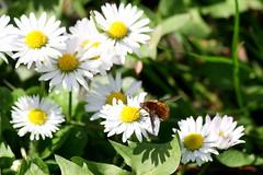 Am Deich (ivlys) Tags: flowers nature germany insect deutschland hessen blumen daisy dyke allemagne gänseblümchen deich bombyliusmajor hessischesried erfelden ivlys groserwollschweber