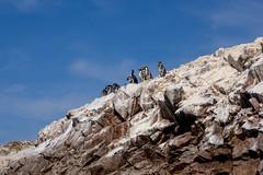 Penquins Isla Ballestas (pzartmann) Tags: blue sea birds rock isla ballestas penquins