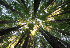 California redwoods (brent.henriksen) Tags: trees light panorama green forest big australia victoria shade plantation tall sequoiasempervirens beechforest californiaredwood aireriver nikond3300