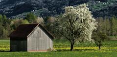 Eruption (Elliott Bignell) Tags: flowers white flower tree schweiz switzerland wooden spring suisse blossom htte wiese ostschweiz blumen hut pear flowering blossoming svizzera rheintal holz baum frhling birne blten rhinevalley walenstadt blht measdow