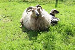 How Proud can you be ? So Proud ! (excellentzebu1050) Tags: animal closeup sheep outdoor farm newborn lamb newlife animalportraits coth5 beautylambsapril2016