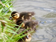 Can she see me? (heathernewman) Tags: baby green nature water grass birds animal yellow swim walking canal outdoor ducks fluffy ducklings mallard wiltshire devizes towpath kennetandavoncanal