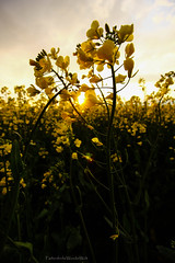 Raps (FarbenfroheWunderwelt) Tags: flowers summer sun nature field yellow canon walk awesome natur rape raps catchy uww eos550