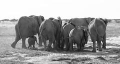 The Elephant Family (hannesgjetmundsen) Tags: life africa family elephant love animal live wildlife safari namibia etosha