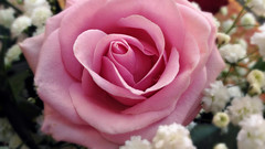 Pink rose (Marty_0722) Tags: life pink flower nature rose flora colore rosa natura fiore vita