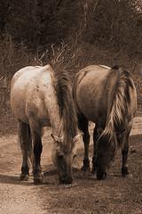 lovely couple (Nicci1983) Tags: horses wildlife natuur duinen paarden ponys konikhorses konikpaarden landgoedduinenkruidberg
