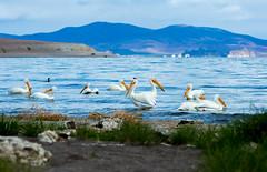 Pelican Beach Hangout (JarrodLopiccolo) Tags: spring nevada pelican pyramidlake