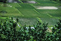 Taro Field (sibnet2000) Tags: hawaii us unitedstates princeville canon6d
