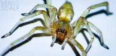 Cheiracanthium mildei - 105mm macro (ben.scalf) Tags: ohio macro nature animal bug insect spider nikon cincinnati wildlife arachnid science micro dslr biology cheiracanthium mildei d3200