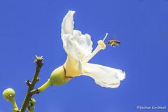 Bee (Enilton Kirchhof) Tags: flower beautiful animal insect natureza flor bluesky bee mel inseto polen beleza brasiliadf eixão ef24105mmf4lisusm canoneos6d fotoeniltonkirchhof