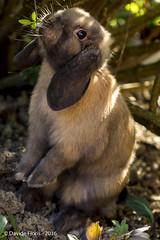 Bob meet the yard (df18photos) Tags: rabbit animals bob animali coniglio hollandlop arietenano miniaturelop