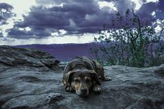 Living on the (L)edge. (MrF2987) Tags: sky plants dog mountain green beagle rock georgia purple surreal dachshund terrier bloodmountain