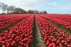Red tulip field (Ben den Hartog) Tags: holland netherlands tulips tulip fields noordoostpolder flevoland tulpen tulp bollenstreek tulpenvelden