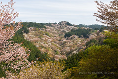 / Cherry Blossoms in Yoshino (kimtetsu) Tags: japan spring jp  cherryblossom  nara yoshino