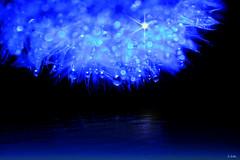 drop universe (gshaun12) Tags: blue flower macro reflection art nature water closeup star bokeh dandylion fantasticnature macrodreams