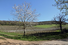Par une belle journe de printemps en Bourgogne (Chemose) Tags: flowers france tree fleurs canon eos countryside vineyard spring burgundy vine 7d april bourgogne campagne vignoble avril arbre printemps vigne bourgognedusud sologny southburgundy