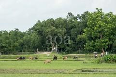 H504_3123 (bandashing) Tags: trees england green water landscape manchester village flood scenic monsoon land l sylhet bangladesh rains socialdocumentary aoa bandashing akhtarowaisahmed