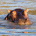 Here's looking at you. Hippo at ISimangaliso Wetland Park