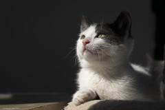 Ava (leporcia) Tags: cats animals ava cat kitten feline chat kitty gatos gato felino animales katze gatto katzen animalplanet gatito