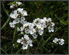 (Fay2603) Tags: wild white flower klein blossom outdoor small pflanze stamens gras grn blume blte muster bltenbltter zart wiesenschaumkraut weis wildblumen staubgefse wildblte organisches