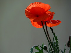 Gentils... (GCau) Tags: red rouge poppies coquelicots gecau