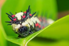 Caterpillar (EdgarJi) Tags: macro nature insect caterpillar