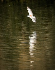 Kingfisher on patrol (1 of 1) (DavidGuscottPhotography) Tags: test stack